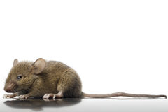 Mouse. A common mouse on white Stock Photo