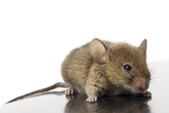 Mouse. A common mouse on white Royalty Free Stock Photos