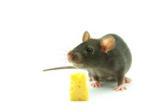Mouse. Close up on little mouse and cheese royalty free stock images