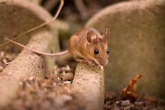 Free Mouse Stock Photo - 87690080
