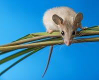 Mouse - (acomys cahirinus) royalty free stock image