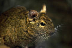 Mouse animal closeup Royalty Free Stock Photo
