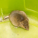Mouse animal  mammal wild eyes Royalty Free Stock Images