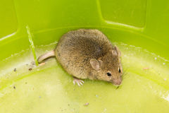 Mouse animal pets mammal wild Stock Image