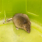 Mouse animal pets mammal wild Stock Photography