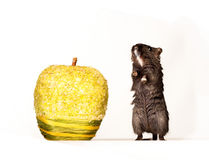 Mouse and apple. Little mouse with yellow apple Stock Photos