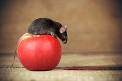 Mouse on Apple. Incentive Isolated Food Pets White Animal royalty free stock photo