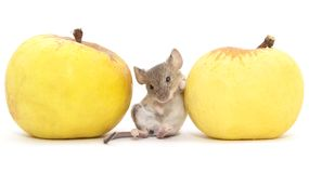 Mouse and apple on a white background.  royalty free stock image