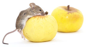 Mouse and apple on a white background Stock Photography