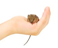 Mouse on arm Stock Images