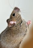 Mouse asking for cheese. Mouse walks up on back legs and crossing front paws asks for cheese Royalty Free Stock Photos