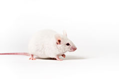 Mouse bianco immagine stock