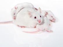 Mouse bianco della madre con tre pups Fotografie Stock