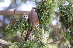 Mousebird eating in tree royalty free stock photography