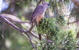 Mousebird eating in tree stock images
