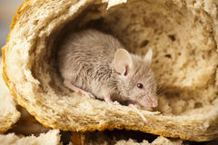 Mouse and bread. Close up on little mouse and bread stock photography