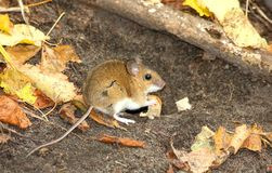 Mouse with a bread piece Stock Images