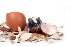 Mouse in broken eggshells. Little mouse in broken eggshells Royalty Free Stock Photography