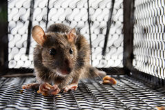 A mouse in the Cage Royalty Free Stock Images