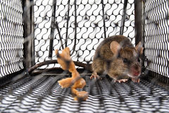 A mouse in the Cage Stock Photography