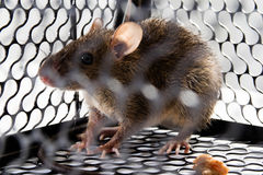 A mouse in the Cage Royalty Free Stock Image