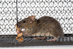 A mouse in the Cage Stock Images