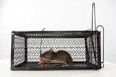 A mouse in the Cage Stock Photo