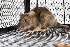 A mouse in the Cage Stock Photos