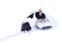Mouse calling. Little mouse dialing a number Royalty Free Stock Photos