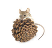 Mouse and cedar Stock Photos