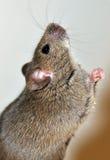 Mouse che chiede il formaggio fotografie stock libere da diritti
