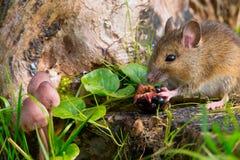 Mouse che mangia lampone Fotografie Stock Libere da Diritti