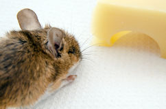 Mouse and Cheese. A brown house mouse, Latin name mus musculus heading for a piece of Emmental cheese Stock Image