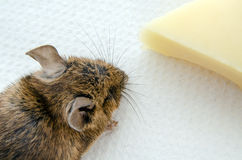 Mouse with cheese, overhead view Royalty Free Stock Images
