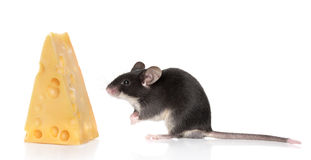 Mouse and cheese on white background Royalty Free Stock Images