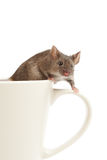 Mouse on coffee cup isolated stock image