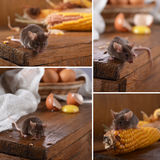 Mouse. Royalty Free Stock Image