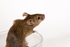 Mouse coming out of a glass Royalty Free Stock Photo