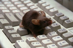 The mouse at the computer, on the keyboard Stock Images