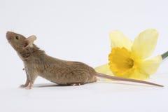 Mouse con il nartsis Fotografie Stock