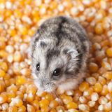 Mouse on corn. Mouse standing on corn grains stock photography