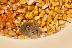 Mouse on corn Stock Photo
