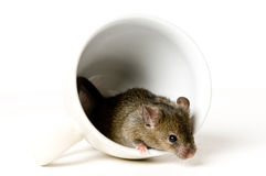 Mouse in cup Royalty Free Stock Photo