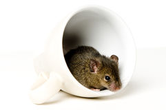 Mouse in cup Stock Photo