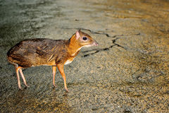 Mouse deer. Close up of mouse deer  (Tragulus kanchil), selective focus Stock Image