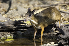 The mouse deer coming to small pond in wild Stock Photography