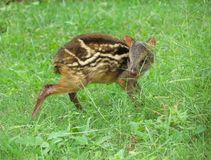 Mouse deer fawn Stock Photo