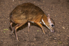 Mouse deer Stock Photos