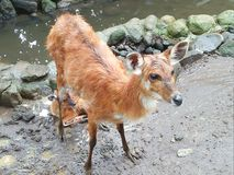 Mouse deer. I take a photo when the mouse deer finished take a bath Royalty Free Stock Photo