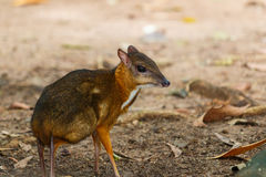 Mouse,deer,Mouse-deer In zoo of Thailand. Mouse-deer In zoo of Thailand Royalty Free Stock Image